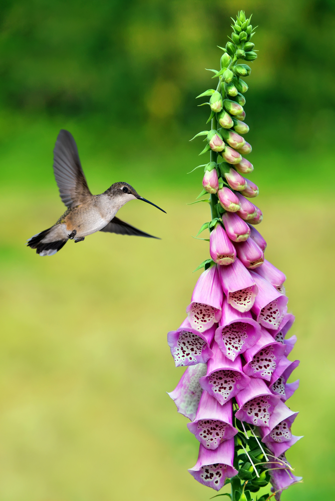 Hummingbird pollinating a flower