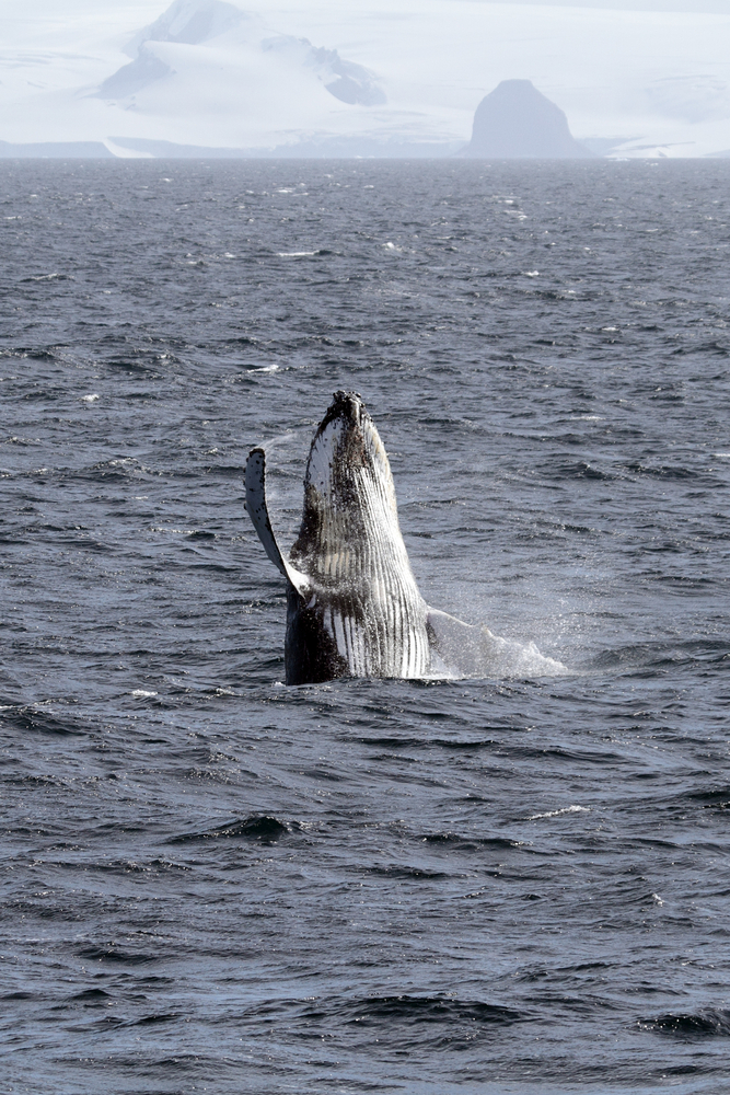 A whale breaching from the ocean